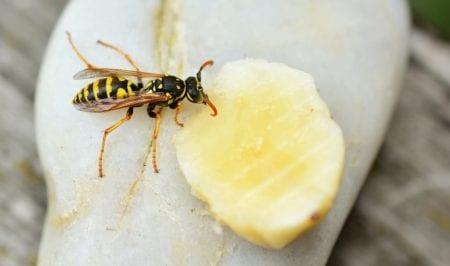 Wasp Sting: Reaction Symptoms, Treatments