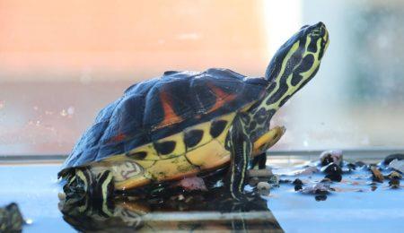 Setting Up an Aquatic Turtle Tank